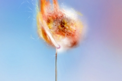 Dandelion on fire